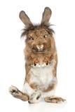 Coniglio divertente che si leva in piedi sui sui piedini posteriori Immagini Stock