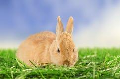 Coniglio domestico arancio che riposa nell'erba Immagine Stock