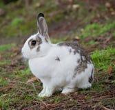 Coniglio domestico europeo (cuniculus di oryctolagus) Fotografia Stock