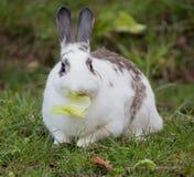 Coniglio domestico europeo (cuniculus di oryctolagus) Immagini Stock