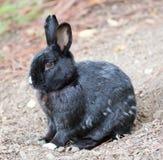 Coniglio domestico europeo di Melanistic (cuniculus di oryctolagus) Fotografia Stock Libera da Diritti
