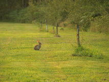 Coniglio in erba verde Fotografia Stock