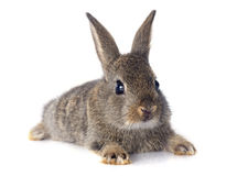 Coniglio europeo Immagini Stock Libere da Diritti