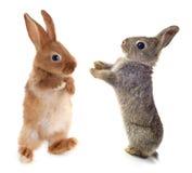 Coniglio europeo Fotografia Stock