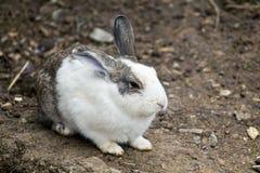 Coniglio europeo (cuniculus del oryctolagus) Fotografia Stock