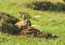 Coniglio europeo selvaggio (cuniculus del Oryctolagus) Immagine Stock Libera da Diritti