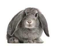Coniglio francese di Lop, 2 mesi, Oryctolagus fotografia stock