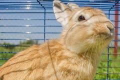 Coniglio in gabbia Immagine Stock Libera da Diritti