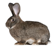 Coniglio gigante fiammingo Immagine Stock Libera da Diritti