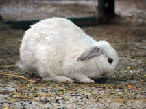 Coniglio grasso bianco Fotografie Stock