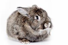 Coniglio grigio Fotografie Stock Libere da Diritti