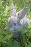Coniglio grigio Fotografie Stock
