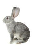 Coniglio grigio Immagine Stock
