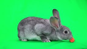 Coniglio grigio video d archivio
