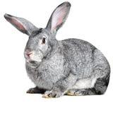 Coniglio grigio della casa Fotografia Stock