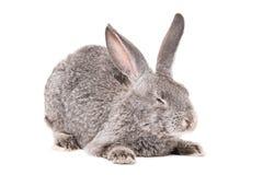Coniglio grigio di sonno Immagini Stock