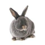 Coniglio grigio Immagine quadrata (1x1) Fotografie Stock Libere da Diritti