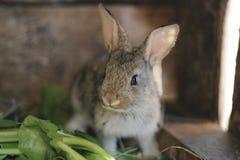 Coniglio grigio nel granaio del coniglio - alto vicino Immagine Stock Libera da Diritti