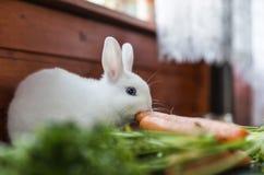 Coniglio lanuginoso bianco Fotografie Stock