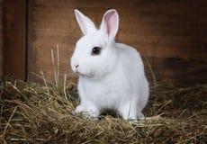 Coniglio lanuginoso bianco all'interno Immagini Stock Libere da Diritti