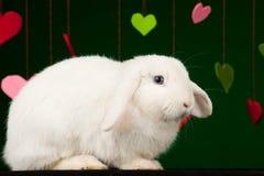 Coniglio lanuginoso bianco con i biglietti di S. Valentino Fotografia Stock