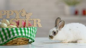 Coniglio lanuginoso che si siede vicino al canestro di congratulazioni di Pasqua come il simbolo del fest santo video d archivio