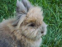 Coniglio lanuginoso di angora fotografia stock
