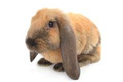 coniglio marrone Fotografie Stock Libere da Diritti
