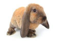 coniglio marrone Fotografie Stock