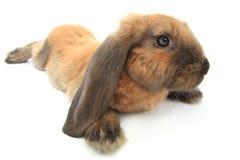 coniglio marrone Fotografia Stock Libera da Diritti