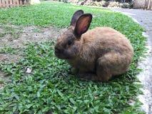 coniglio marrone Immagini Stock