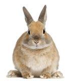 Coniglio nano, 6 mesi Fotografia Stock Libera da Diritti
