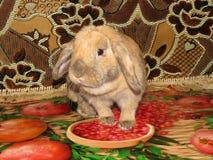 Coniglio nano Lila Fotografie Stock Libere da Diritti