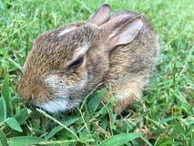 Coniglio nell'erba Fotografie Stock