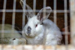 Coniglio nella gabbia Allevamento degli animali domestici Immagini Stock Libere da Diritti