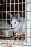 Coniglio nella gabbia Allevamento degli animali domestici Fotografie Stock Libere da Diritti