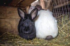 Coniglio nella gabbia Allevamento degli animali domestici Fotografia Stock