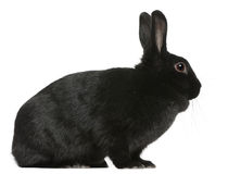 Coniglio nero, 1 anno, sedentesi Fotografie Stock