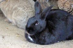 Coniglio nero Immagini Stock Libere da Diritti