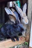 Coniglio nero con gli amici Immagini Stock