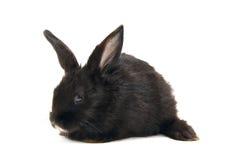Coniglio nero del bambino Fotografie Stock
