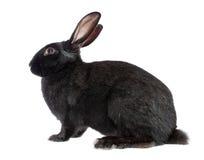 Coniglio nero, isolato. Fotografia Stock