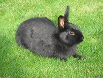 Coniglio nero su un'erba verde Fotografia Stock
