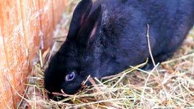 Coniglio nero sveglio stock footage