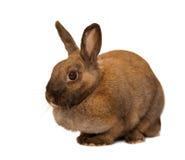 Coniglio rosso Fotografia Stock