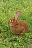 Coniglio rosso Immagini Stock