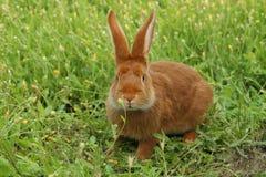 Coniglio rosso Fotografie Stock