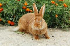 Coniglio rosso Fotografie Stock Libere da Diritti