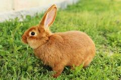 Coniglio rosso Fotografia Stock Libera da Diritti