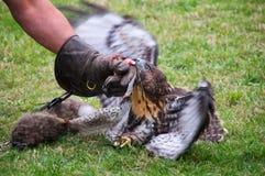 coniglio Rosso-munito di caccia del falco Fotografie Stock